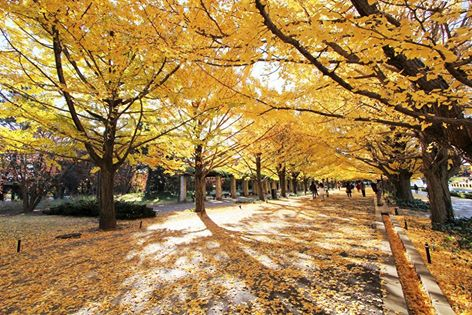 Ginkgo row of trees in autumn.