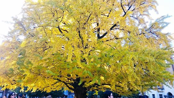 """Large ginkgo-tree"""