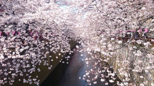 "About 800 ""yoshino zakura"" blooms on the both riversides."