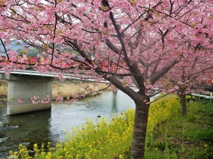 """Kawadu-Sakura"" along the river"