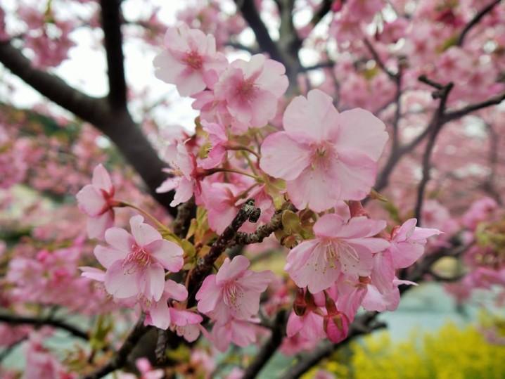 """Kawadu-Sakura"" blossom"