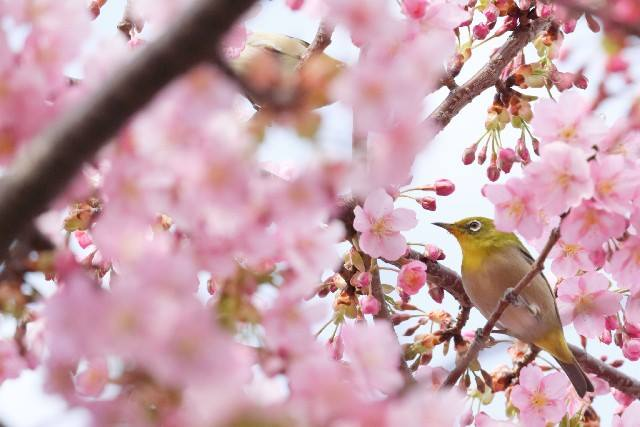 [ Sakura flowering forecast 2016 ]