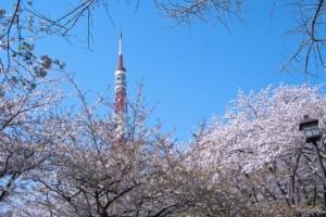 Sakura of Shibakoen.