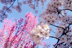 "[ Today's famous ""Sakura"" spot-2 : ""Hama-rikyu Gardens"" @Tokyo ]"