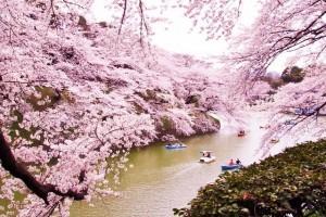 "[ Today's famous ""Sakura"" spot-4 : ""Chidori-ga-fuchi park"" @ Tokyo ]"