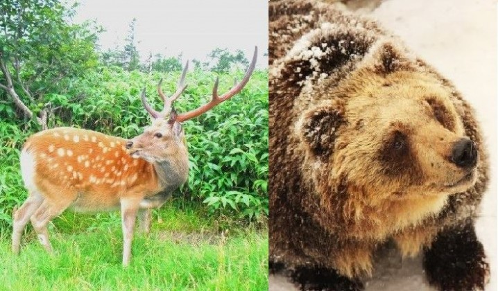"""Ezo deer"" and ""Higuma"" (brown bear)."