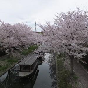 """Jukkoku-bune"" with sakura (cherry blossom)"