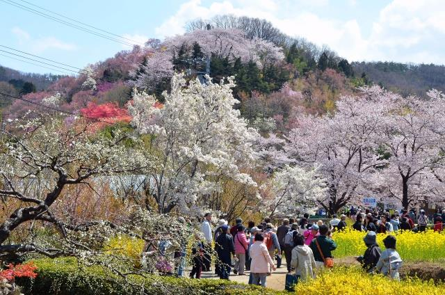 """Ohanami"" (cherry-blossom viewing)"