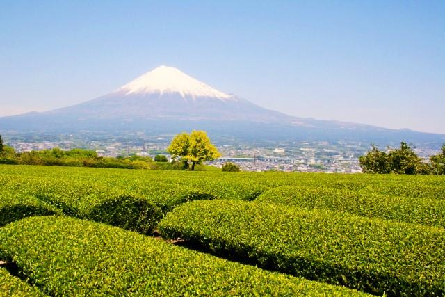 Tea plantations and Mt. Fuji