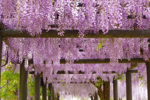 "The flowers of ""fuji"" (wisteria) become in full bloom."