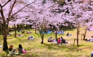"The lunch under the ""sakura"" tree is special!"