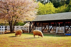 "The sheep in ""Hitsuji-yama"" Park."