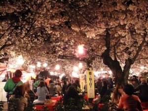 """Yozakura"" (lit up cherry tree at night)"