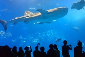 the huge whale shark