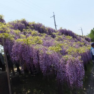 120 meters of wisteria trellis