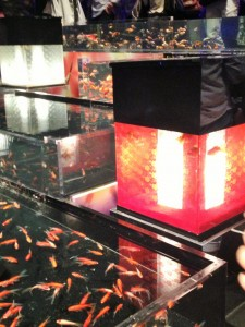 Goldfishes are put in various aquariums.