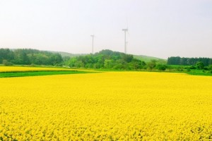 The part of yellow is rape field!