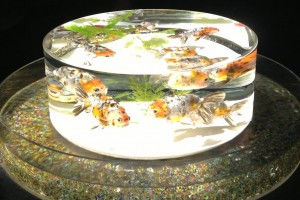 "You can watch various ""Japanese goldfishes""."