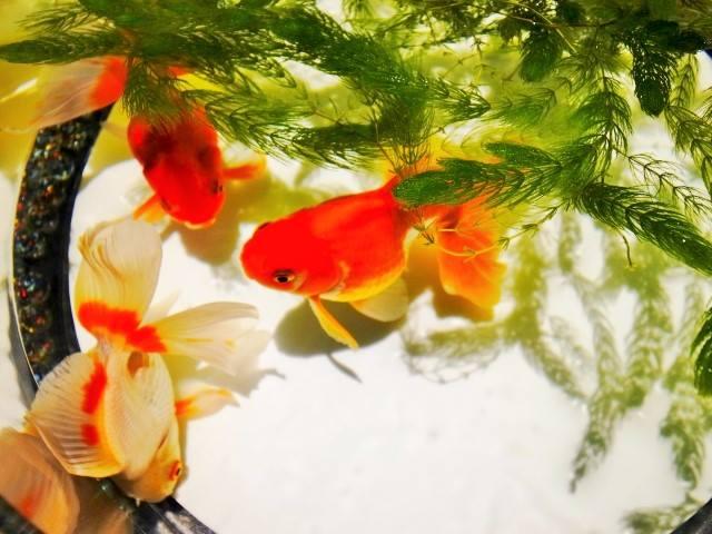 """Kingyo"" (Goldfish)"