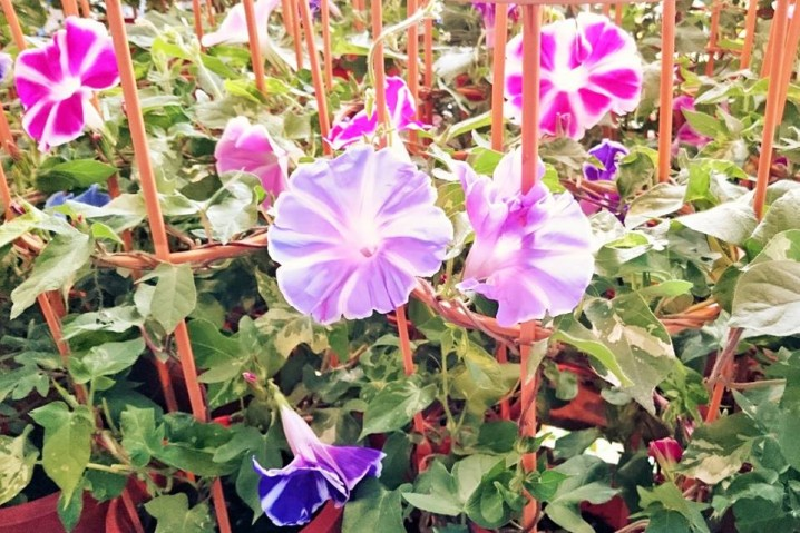"""Asagao"" (morning glory)."