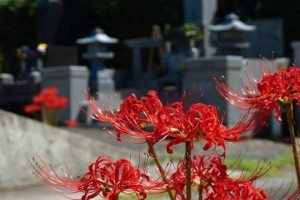 """Higan-bana"" (red spider lily)"