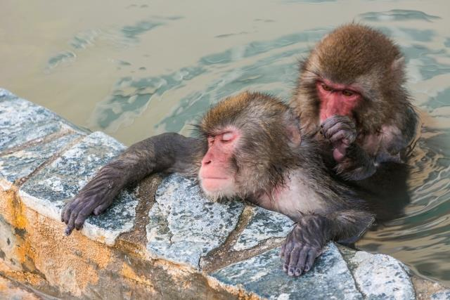You can see the relaxing monkeys in the onsen.