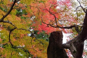"a lot of colored leaves ""Momiji"""