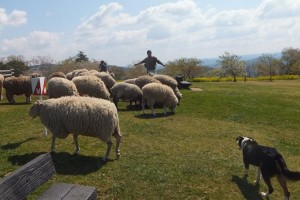 interactive animal shows (sheep)