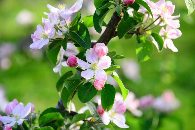 Apple's flower