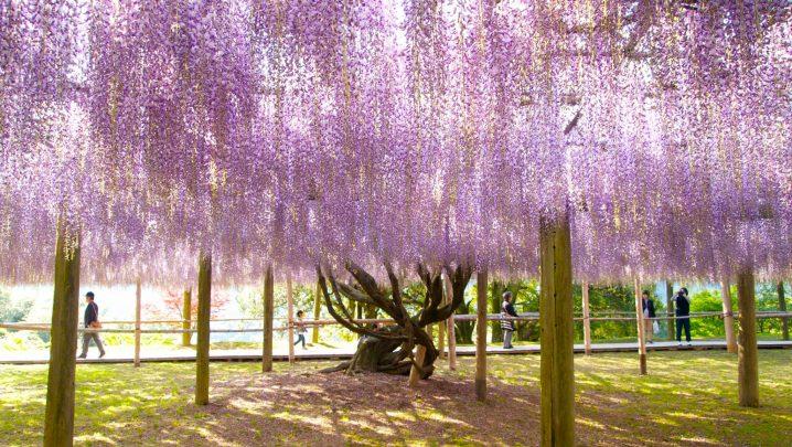 """""""Fuji"""" (wisteria)"""