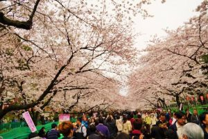 "There are very many people doing ""Hanami"" (cherry blossoms viewing) in Ueno-koen Park."