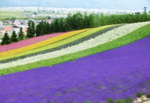 Lavender field in Furano.