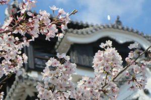 """""""Sakura"""" @ Kumamoto Castle"""