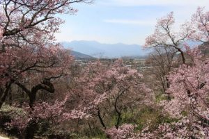 "Sakura in ""Takato Castle Site Park"" part 1."
