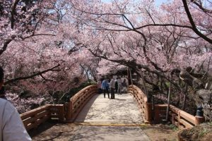 "Sakura in ""Takato Castle Site Park"" part 2."
