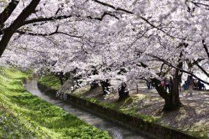 Sakura photo spot 2.