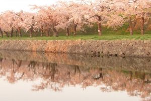 "Approximately 1,600 ""Somei-yoshino"" (cherry trees) are planted in the star-shaped moat"