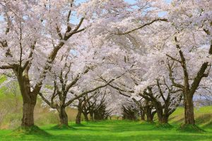 "There are about 150 cherry blossom trees in ""Shizukuishi-gawa Enchi garden""."