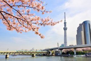 the collaboration with Tokyo Sky Tree (R) and cherry blossom from the Taito-ku side.
