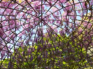 a dome of two big wisteria