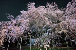 the weeping cherry blossom tree at night.