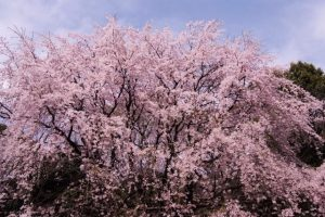 the weeping cherry blossom tree at noon.
